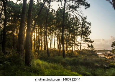 Pine tree forest on the coast of Carreiron natural park in Arousa Island, Galicia, at sunset
