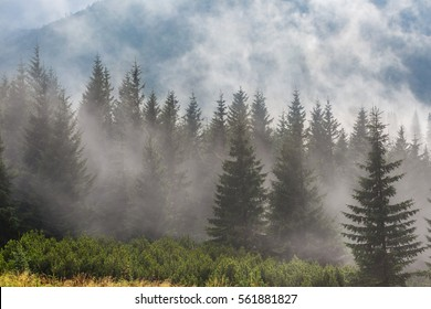 pine tree forest on a mount slope in a mist