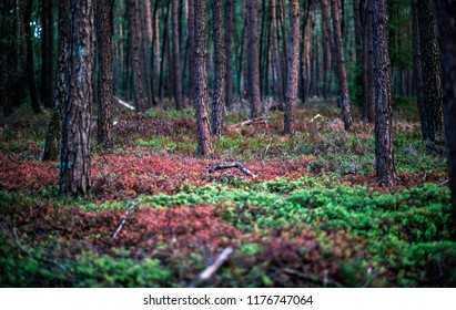 Pine tree forest with red and green ground vegetation.