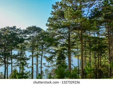 Pine tree forest at sunrise in summer day.