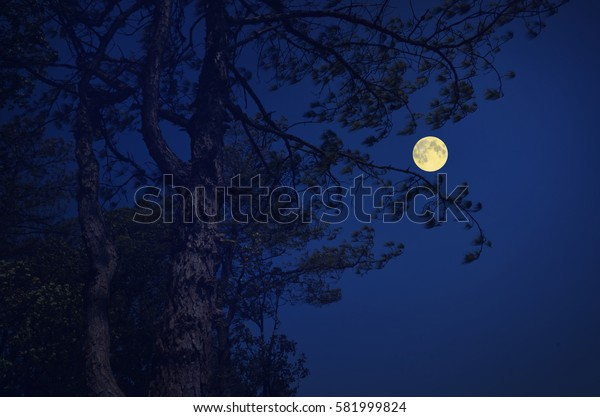 Pine tree in the full moon night