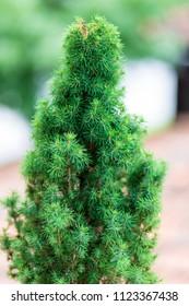 Pine tree green