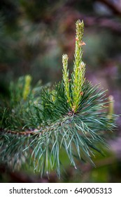 Pine tree green branch