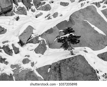 Pine tree growing on a rock surrounded by snow, illustrating the concept of resilience, thriving in spite of difficulties; or being unprepared for the future- black and white rendeing