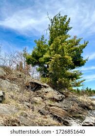 Lone pine tree growing on the rocks on the shoreline of Rainy Lake in international Falls, Minnesota