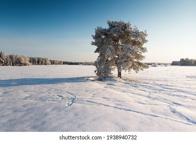 A pine tree grows in the middle of the snowy fields. The rural landscape is all covered in frost on this very cold day.