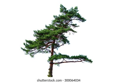 Pine tree isolated on white