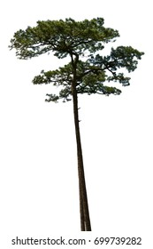 Pine tree isolated on white background for Landscape design.