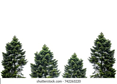 Pine tree isolated on white for Christmas decoration design.
