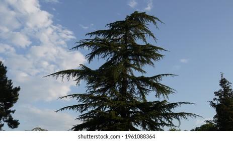 Pine tree isolated , september 2020
