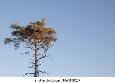 Pine tree isoolated against a blue sky background