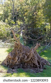 A pine tree knocked over by a windstorm lies on the grass with its gnarled root ball exposed