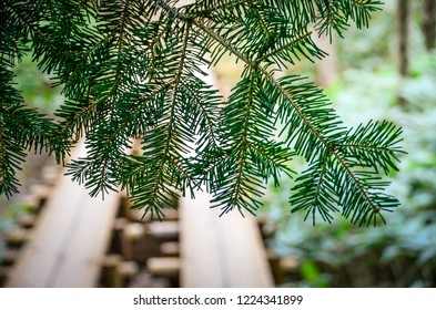 Pine tree leaves with soft focusing and the treking trail in the background