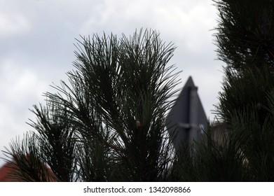 Pine Tree in the Light
