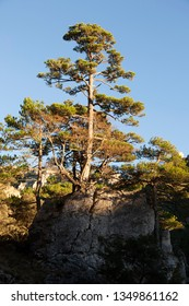 Pine tree in Los Ports mountains natural park