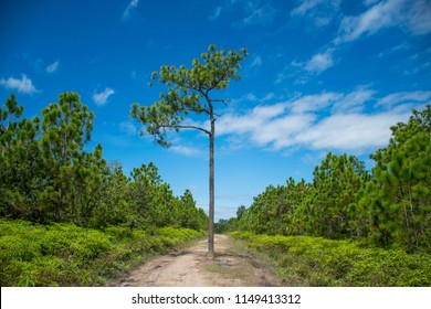 Pine tree in the middle path to Phu Kradueng Camping center, Phu Kradueng National Park, Loei
