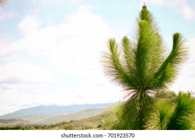 Pine tree and mountain atmosphere
