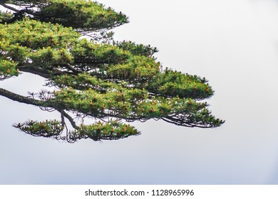 Pine Tree Natural Landscape in Huangshan Scenic Spot, Huangshan City, Anhui Province