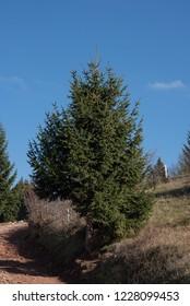 pine tree near road