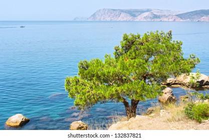 Pine tree next to sea. Shot in the Cape Aia Nature Reserve, near Sevastopol, Crimea peninsula, Black Sea, Ukraine.