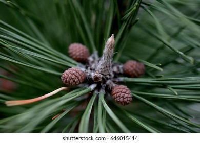 Pine tree and Pine nuts