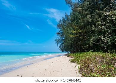 Pine tree on the beach Southeast Alive