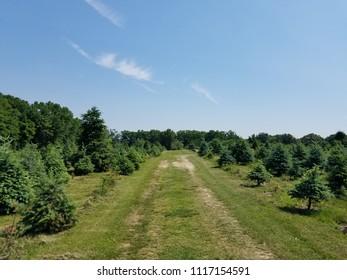 pine tree on the farm