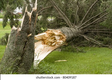 pine tree on the ground from wind storm damage