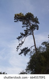 Pine tree on high hill