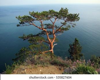 Pine tree on the Lake Baikal shore in Siberia, Russia