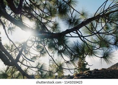 Pine tree on the sun