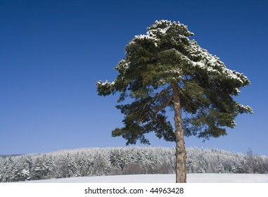 Pine tree on a winter day