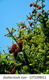 Pine Tree With Opened Cones
