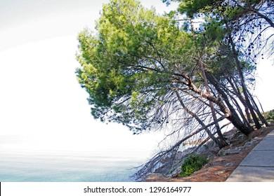 Pine tree over the sea shore in Veli Losinj surroundings, island Losinj, Croatia, Europe, by the end of summer