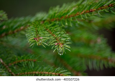 Pine tree with rain drop hanging from it. Taken after April Showers