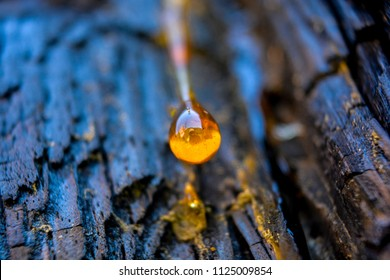 Pine tree resin drop (like yellow amber) on dark burnt bark background