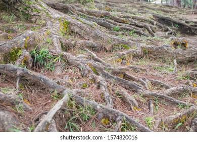 Pine tree root. Long tree roots of pine tree
