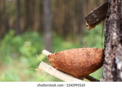 pine tree sap.pine florest