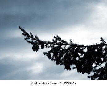 Pine Tree Silhouette against a Cloudy Sky