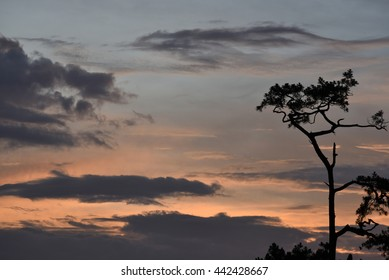 A pine tree silhouette at twilight time