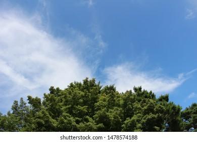 Pine tree with skyblue color sky