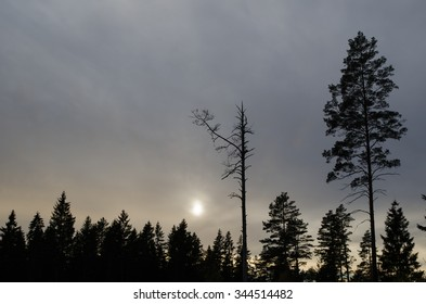 Pine tree snag and a living pine tree silhouettes in a mystique dark forest
