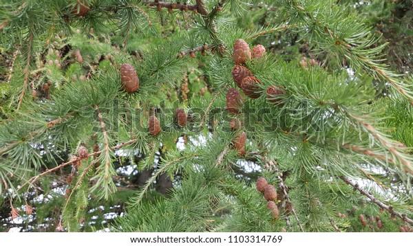 Pine tree summer
