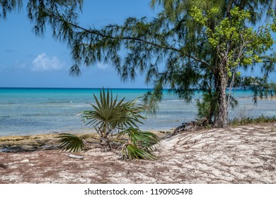 A pine tree and tropical plants along this secluded beach in Princess Cays in the Bahamas.
