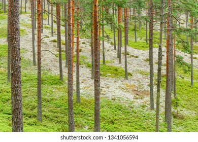 Pine tree trunks in a beautiful coniferous forest