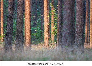 Pine tree trunks in close-up