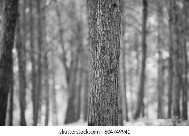 Pine tree trunks no people black and white