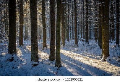pine tree trunks in the winter forest