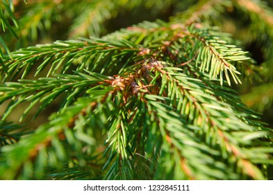 pine tree twigs as a background