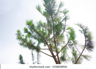 Pine tree upward view with white clouds